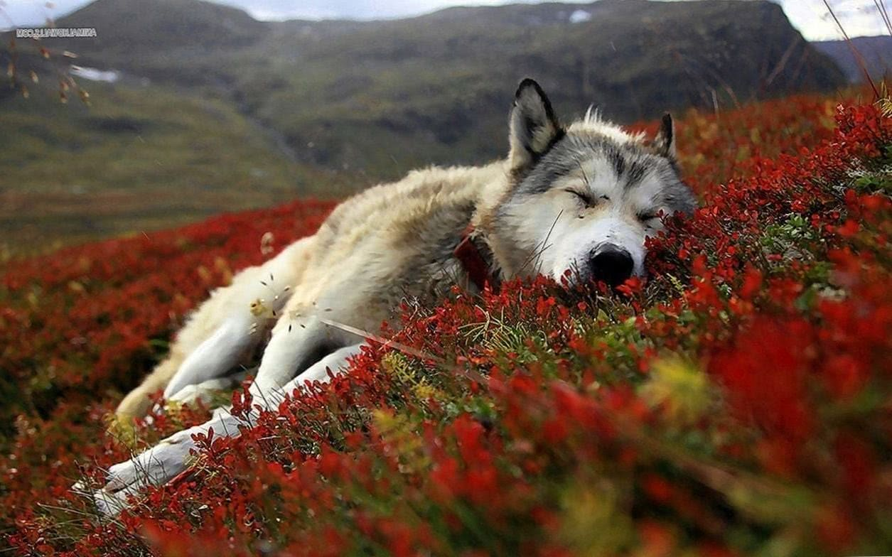 Wallpaper HD Wolves