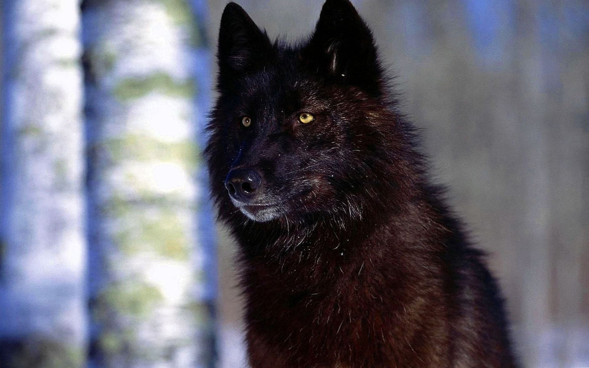 HD Wallpaper Of Black Wolf