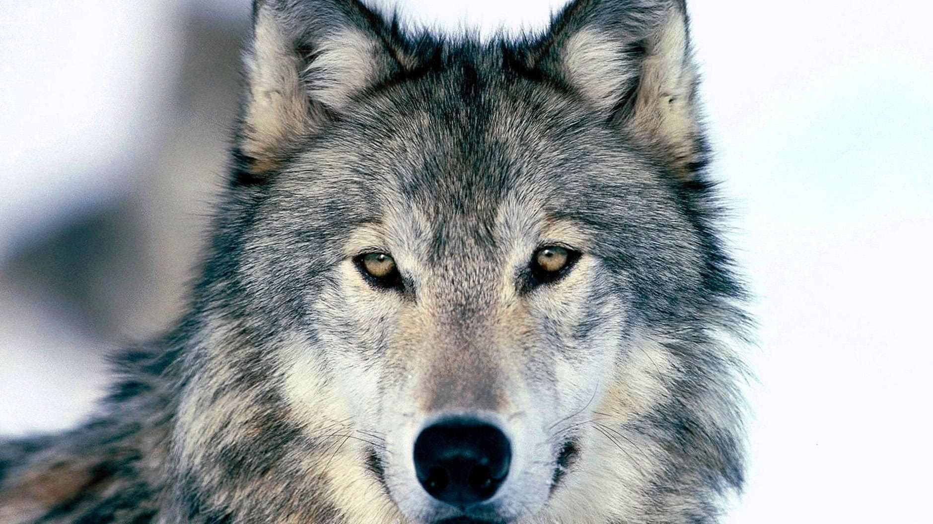 Wolf Full HD Wallpapers
