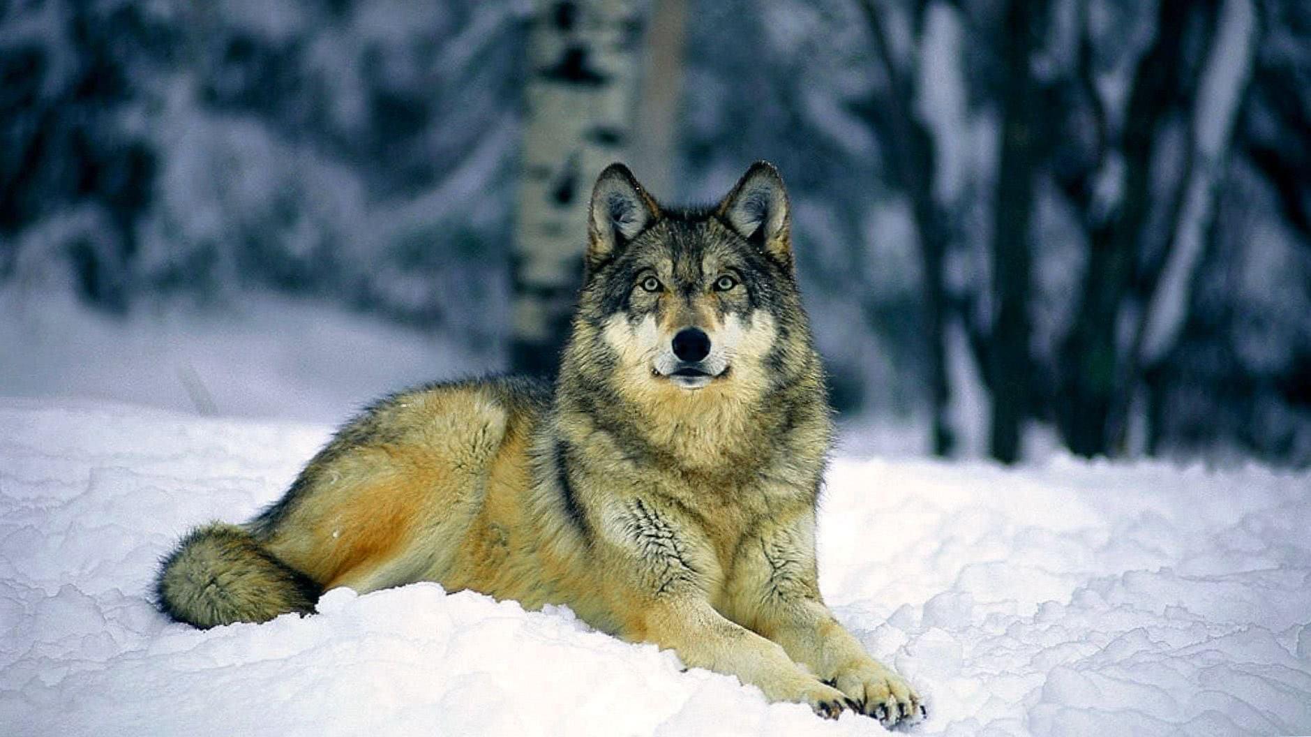 3 Wolf Wallpaper HD