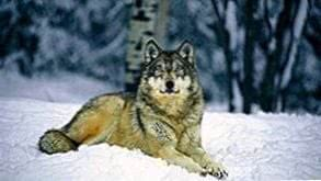Wolf Wallpapers HD Widescreen