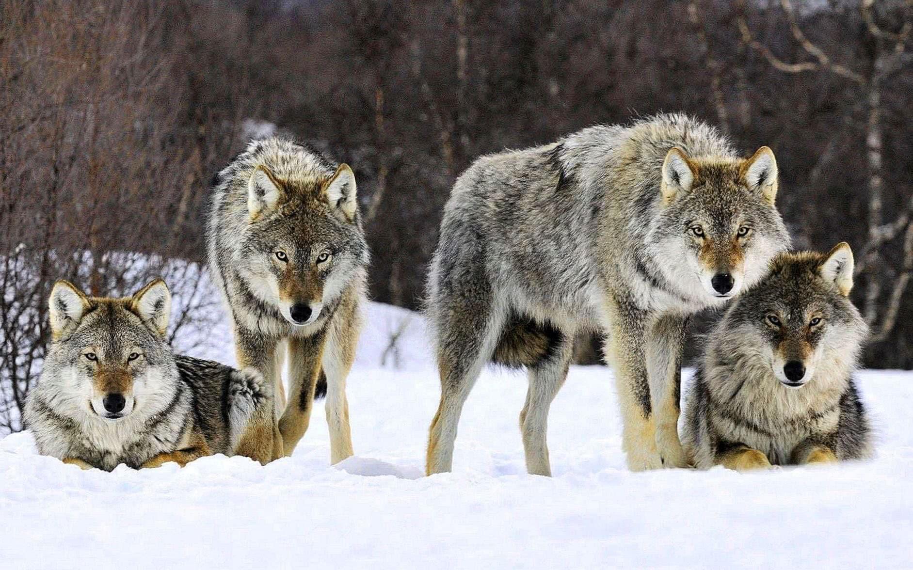 HD Wallpaper Wolves