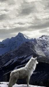 Wolf HD Wallpapers iPhone 5