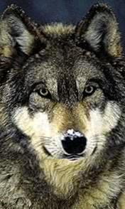 Wolf Live Wallpapers HD