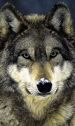 Wolf Mobile HD Wallpaper