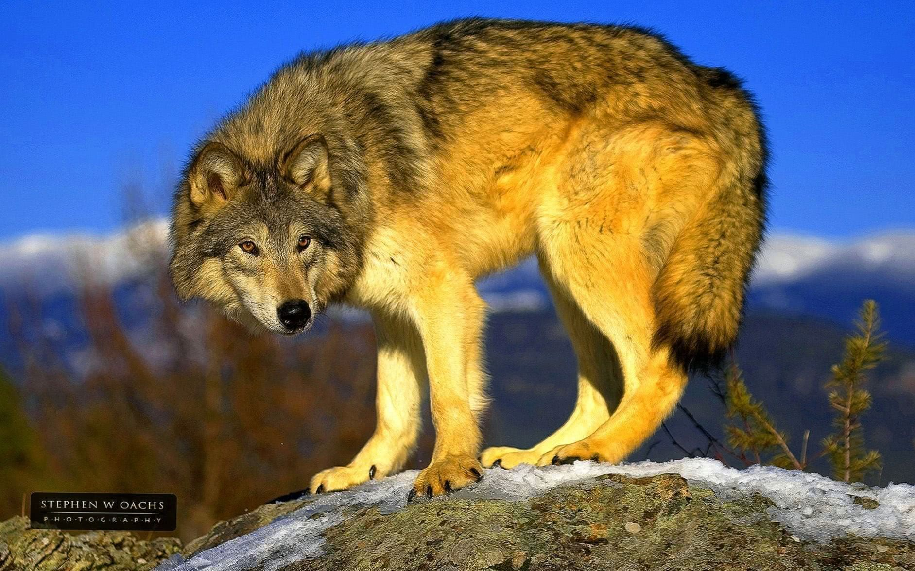 Wolf Animal Wallpapers HD