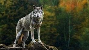 Wallpapers Wolf 1920x1080