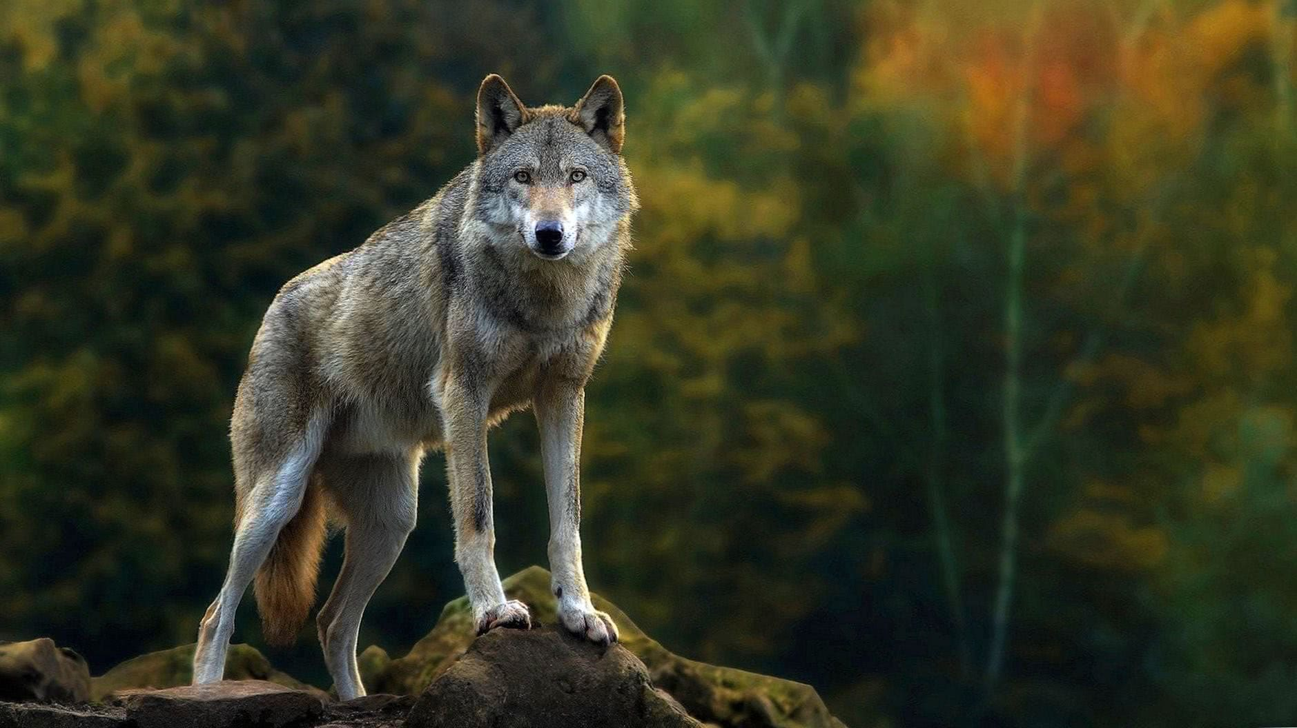 Wolves Full HD Wallpaper