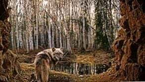 Wolves Hunting HD Wallpapers