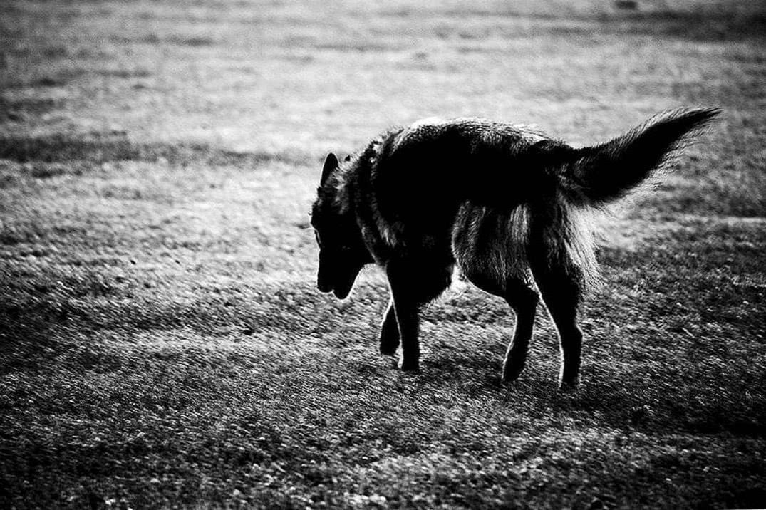 Wolf Wallpapers Lonely