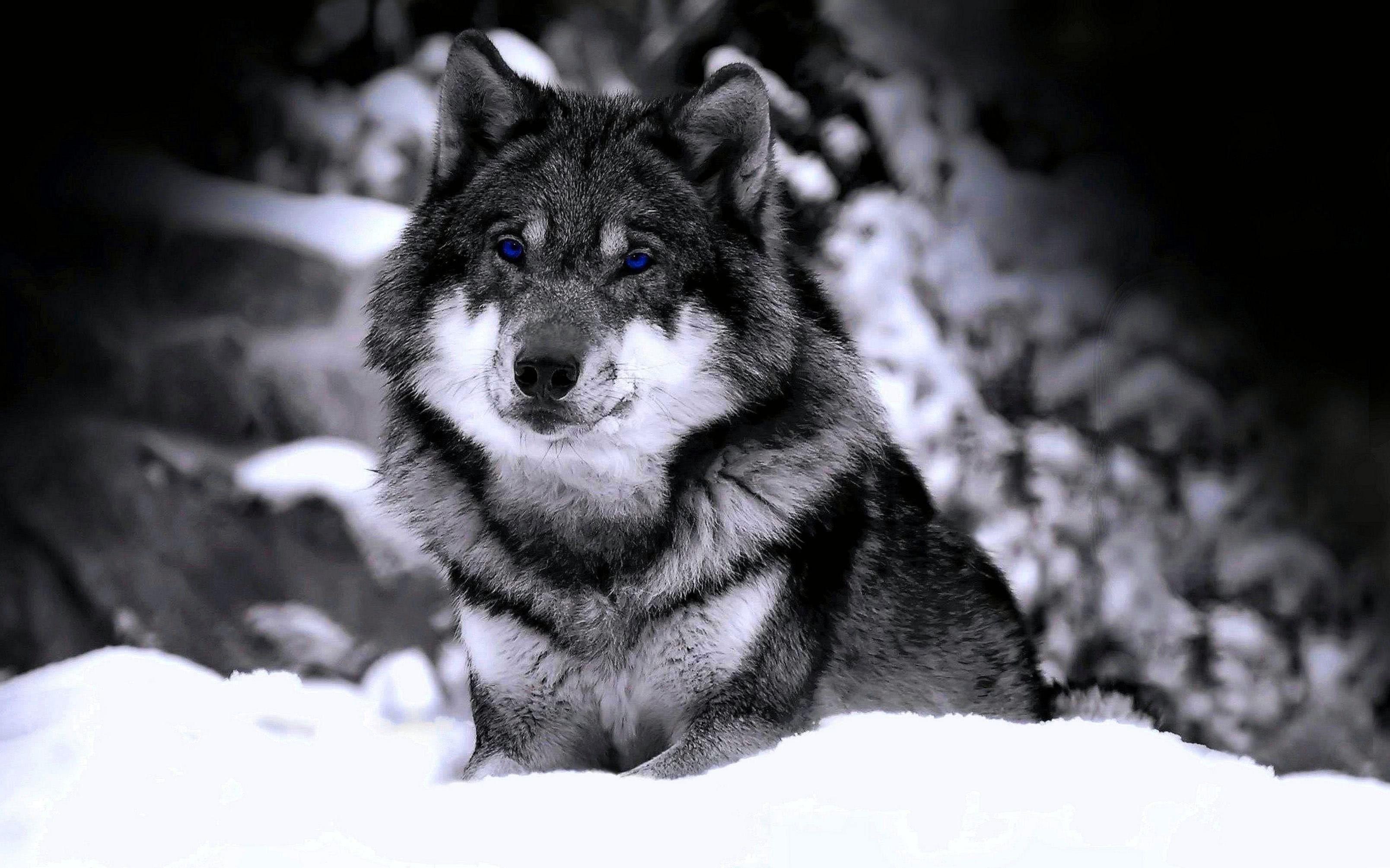 High Definition Wolf Wallpaper