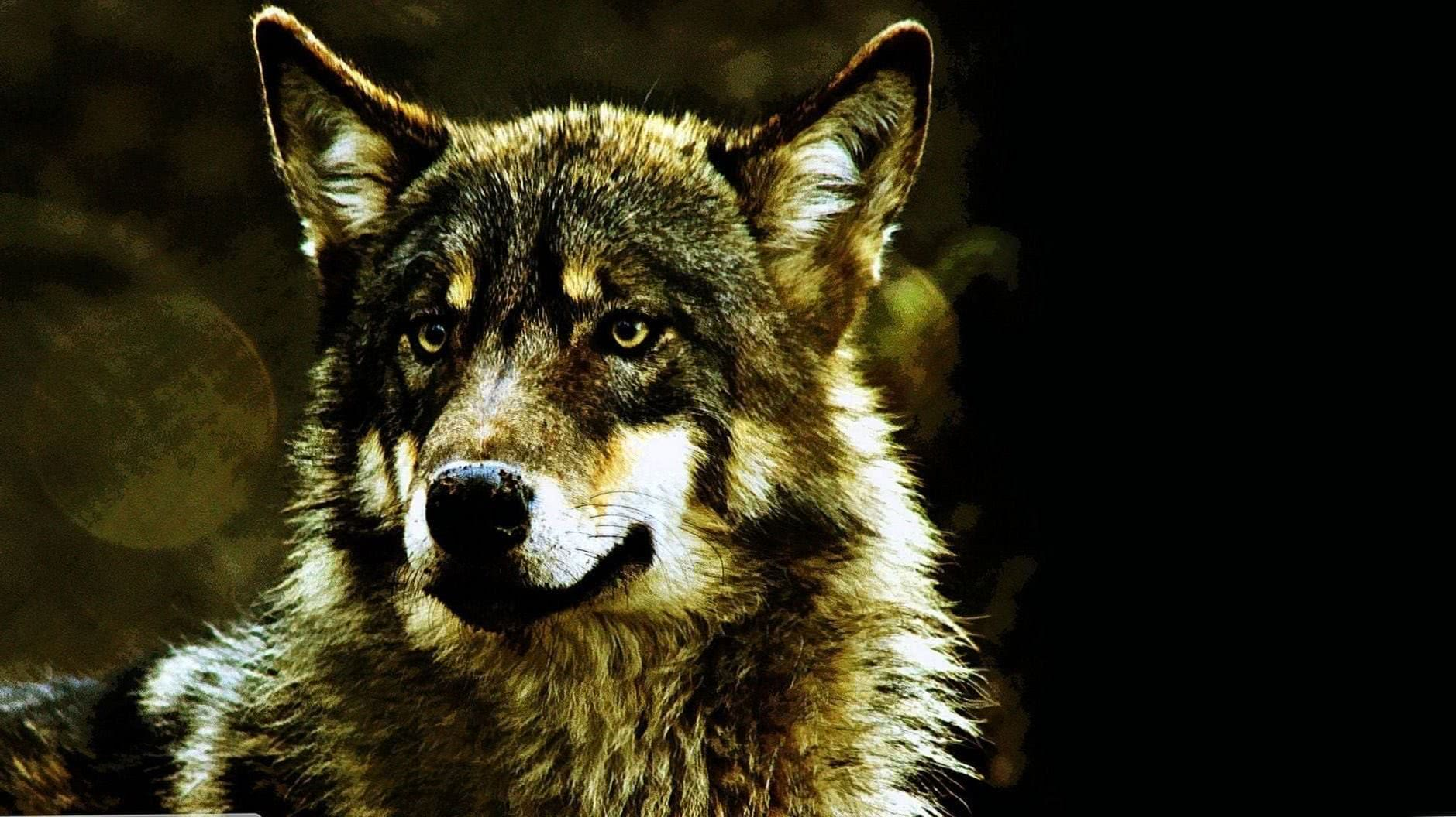 540×960 Wallpaper HD Wolf