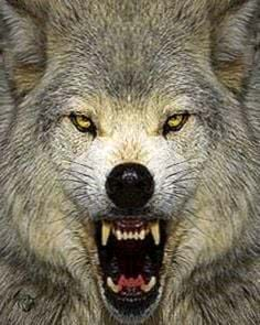 Wolf Wallpapers Mad