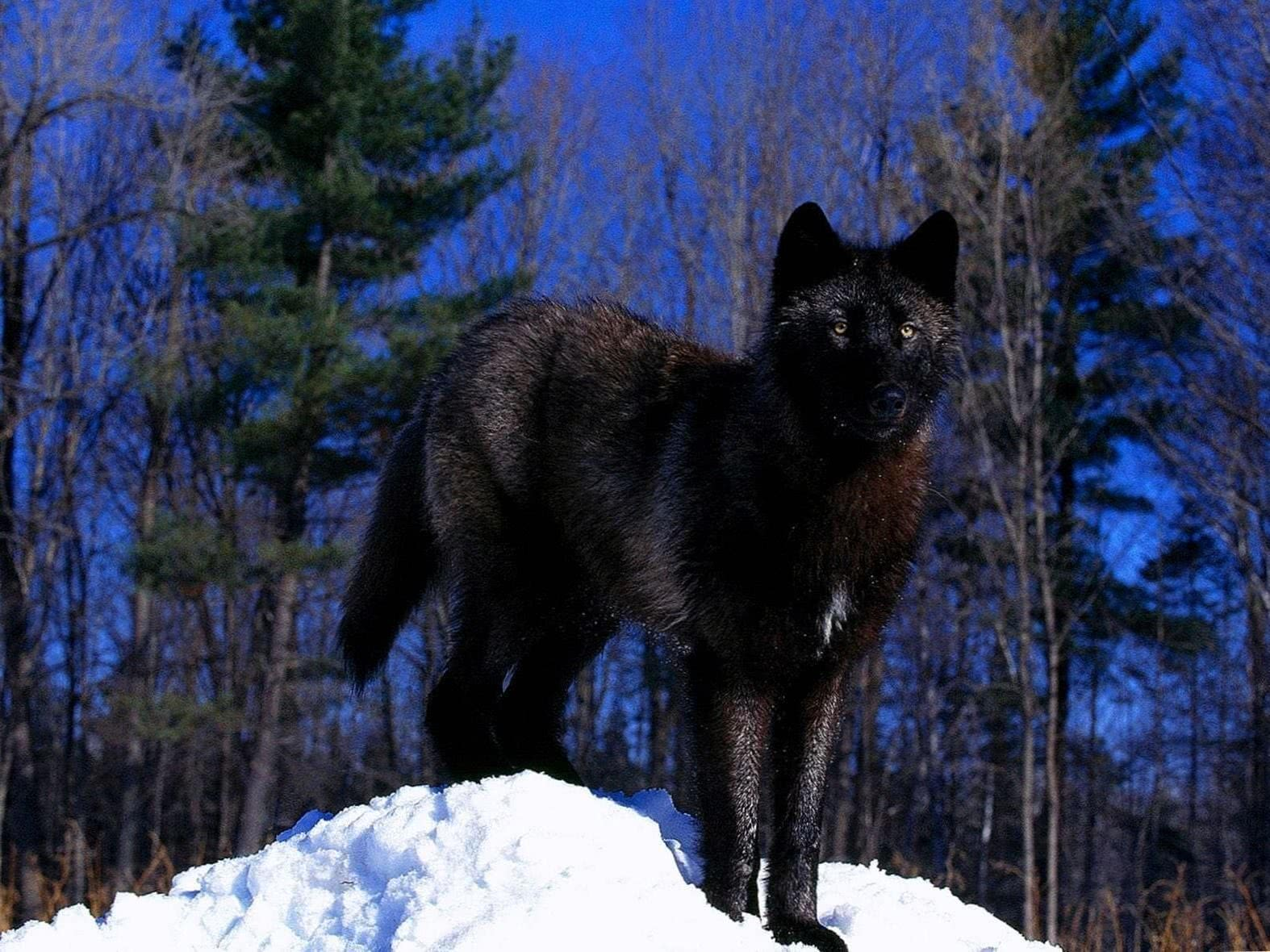 Black Wolf In Snow Wallpaper