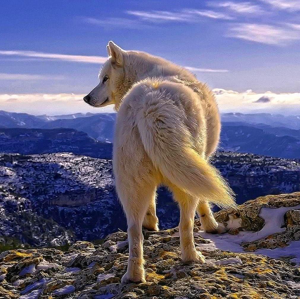Phone Wallpaper White Wolf