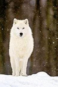 White Wolf Dog Wallpapers