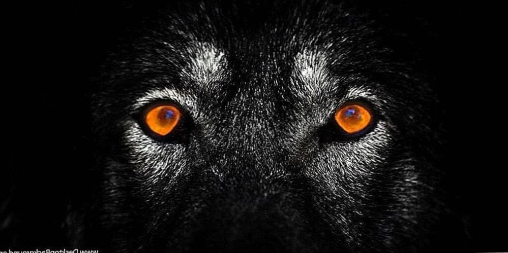 The Lone Wolf HD Wallpaper