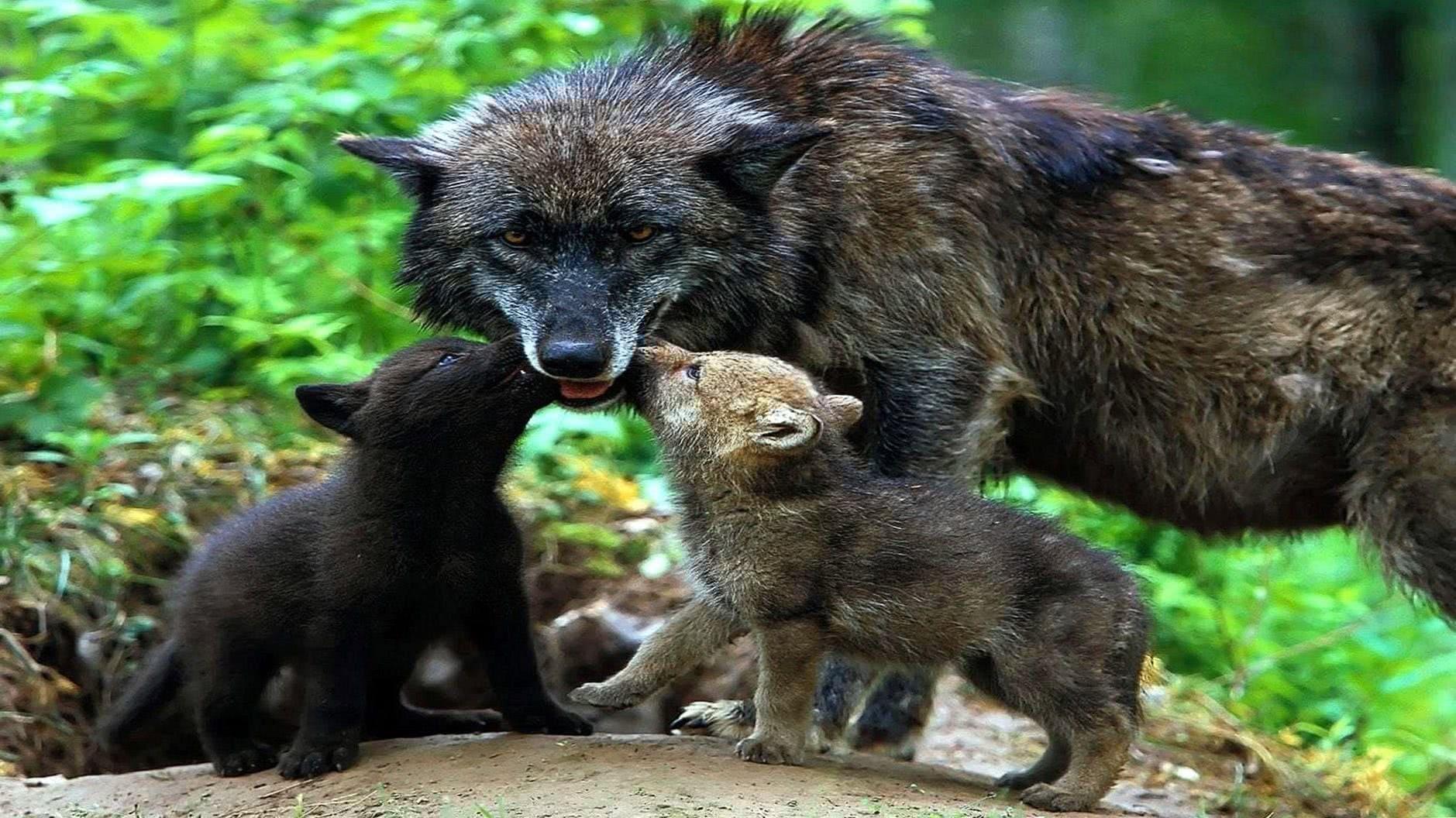 Cute Wolf Cub Wallpaper HD