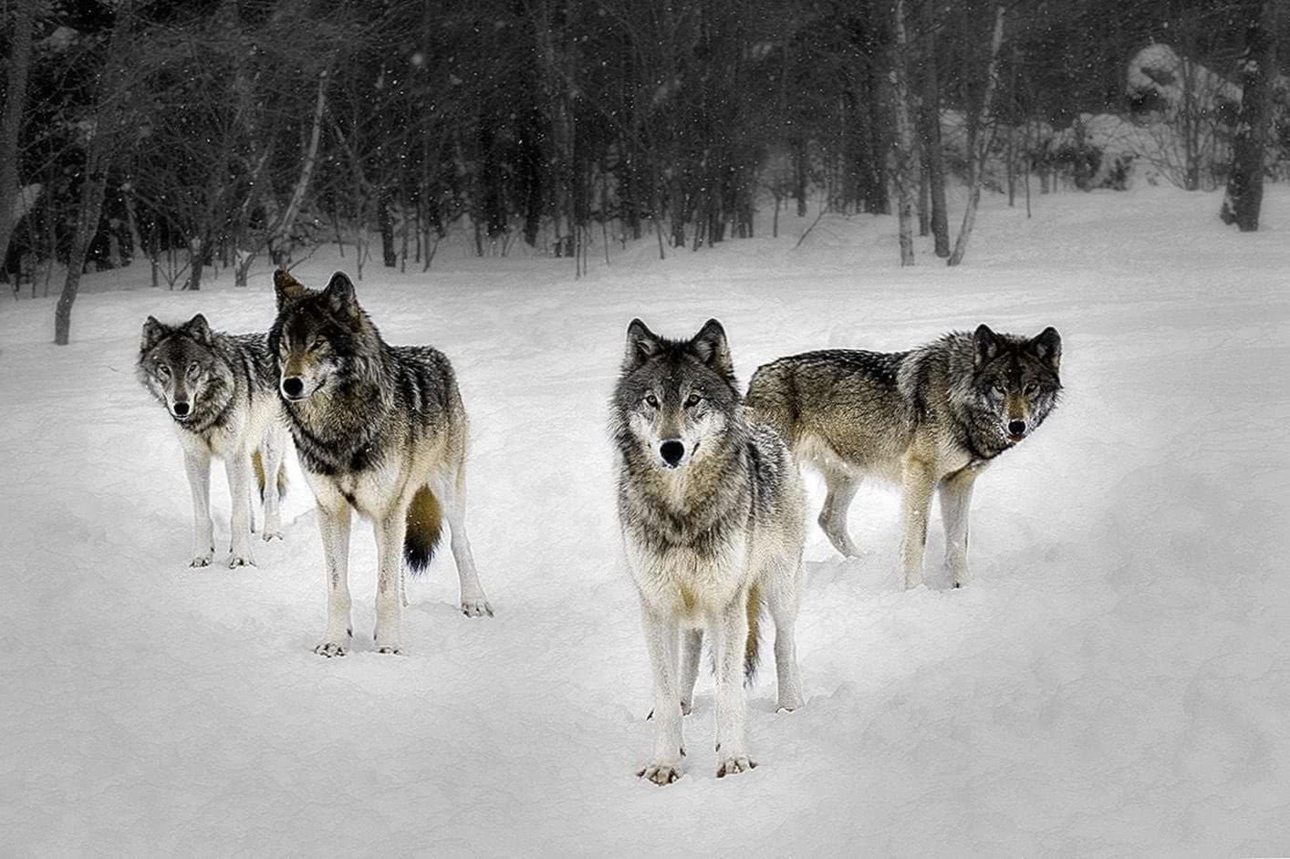 Pack Of Hungry Wolves Wallpaper