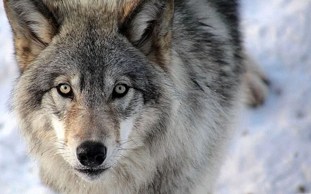 Wallpapers Loup Wolf