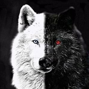 Wolf With Blue Eyes Wallpapers