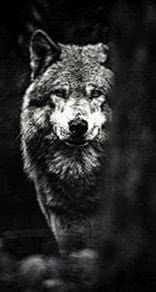 Mean Wolf Wallpapers