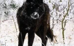 Black Tundra Wolf Wallpapers