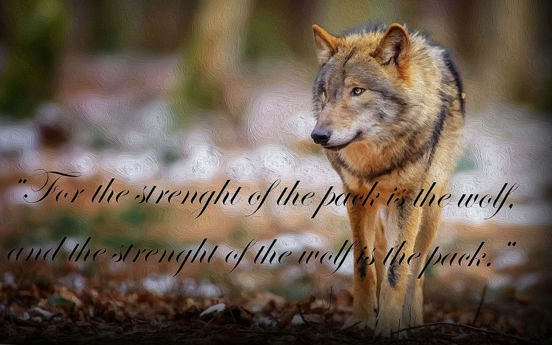 Wolf HD Wallpaper With Quotes