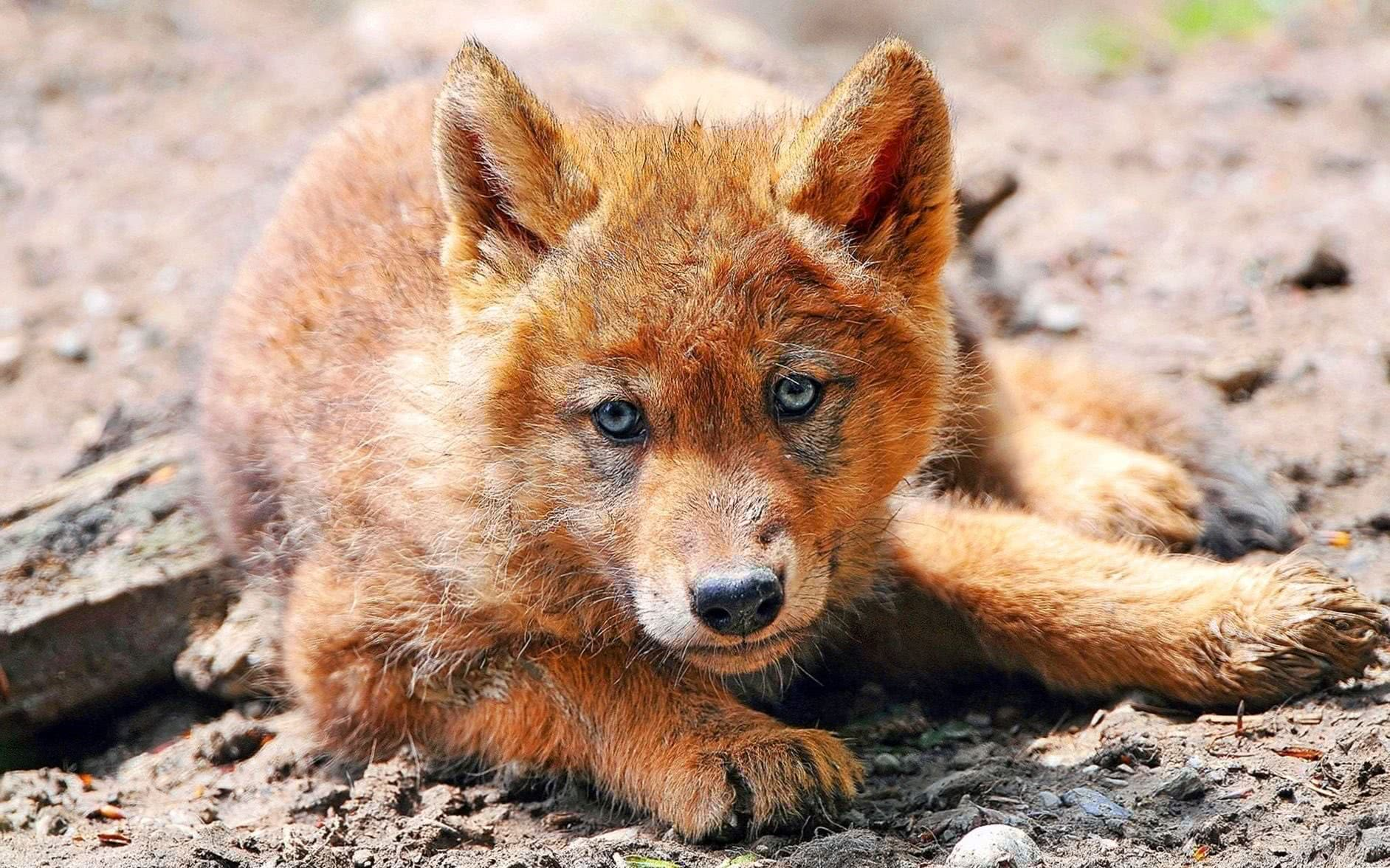 Red Wolf Wallpapers HD
