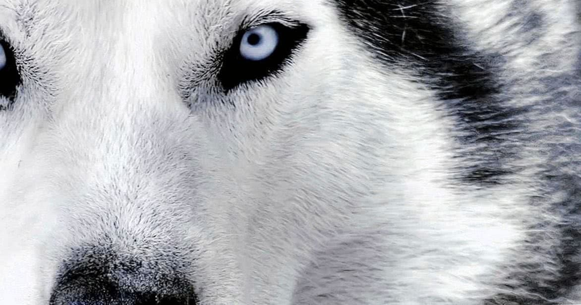 Siberian Wolf HD Wallpaper