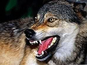 Snarling Wolf HD Wallpapers