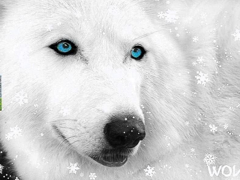 White Wolf With Blue Eyes Wallpaper
