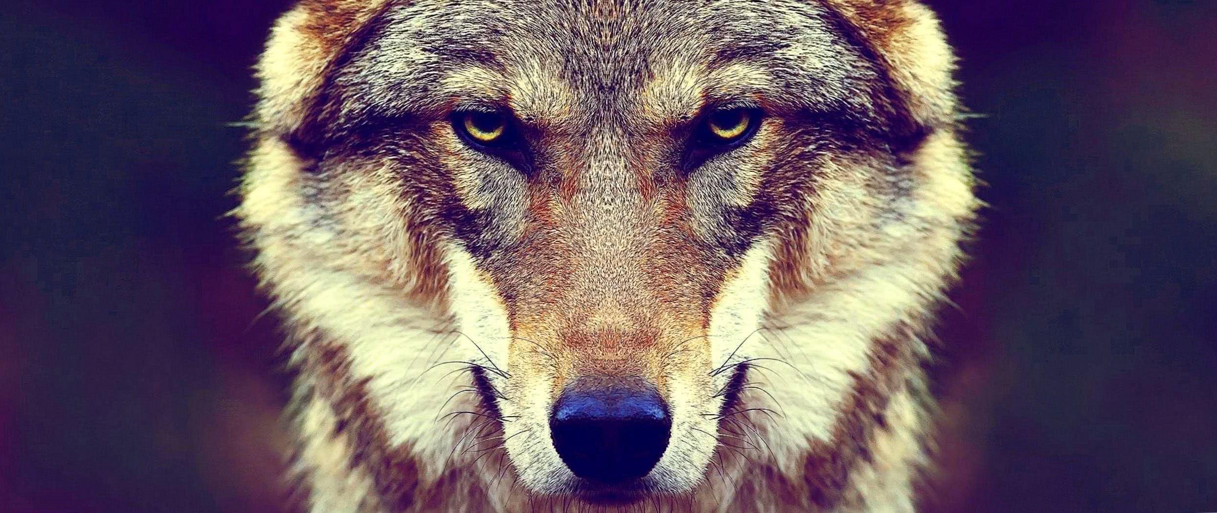 Wolf Wallpaper 3440×1440