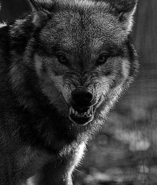 Black Wolf Snarling Wallpapers