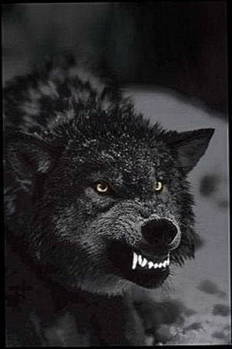 Angry Black Wolf Wallpapers