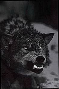 Growling Black Wolf Wallpapers