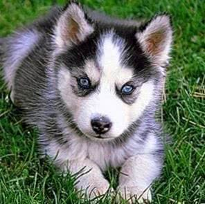 Baby Wolf Puppy Wallpapers