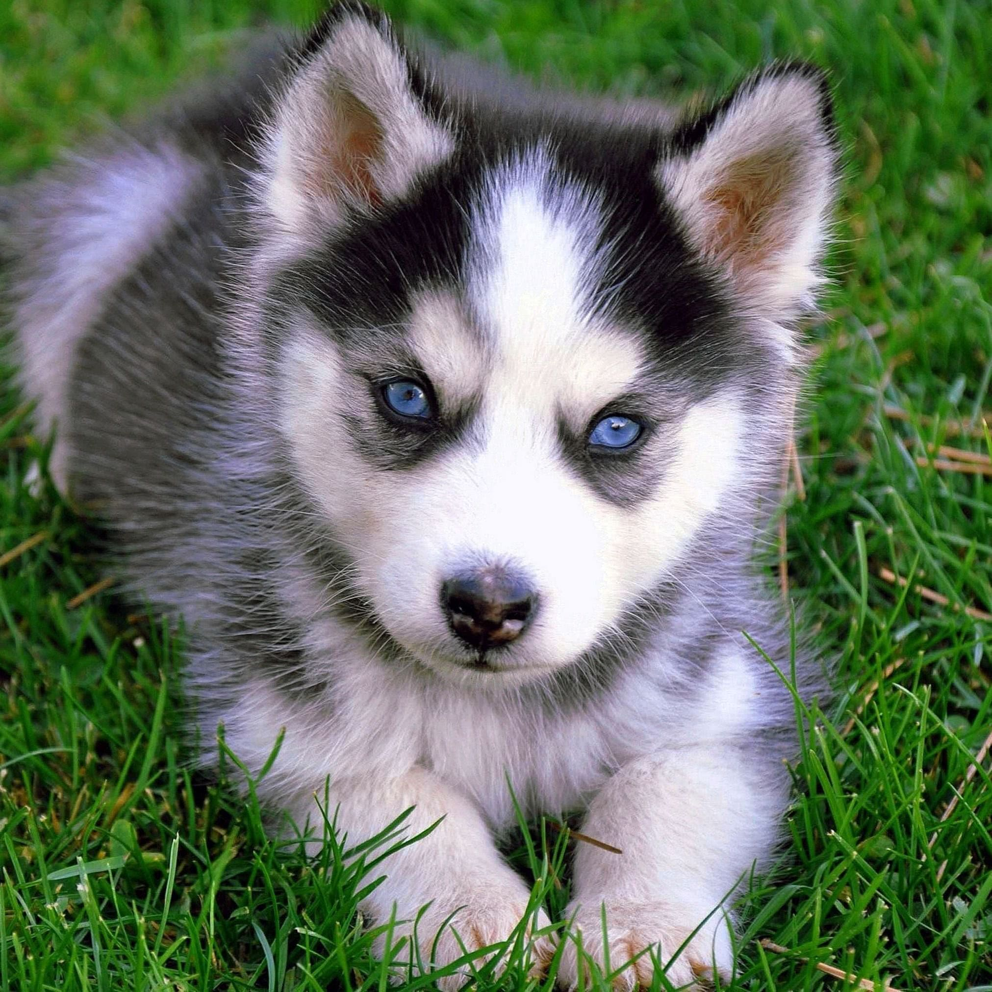 Baby Wolf Puppy Wallpapers Wolf Wallpapers Pro