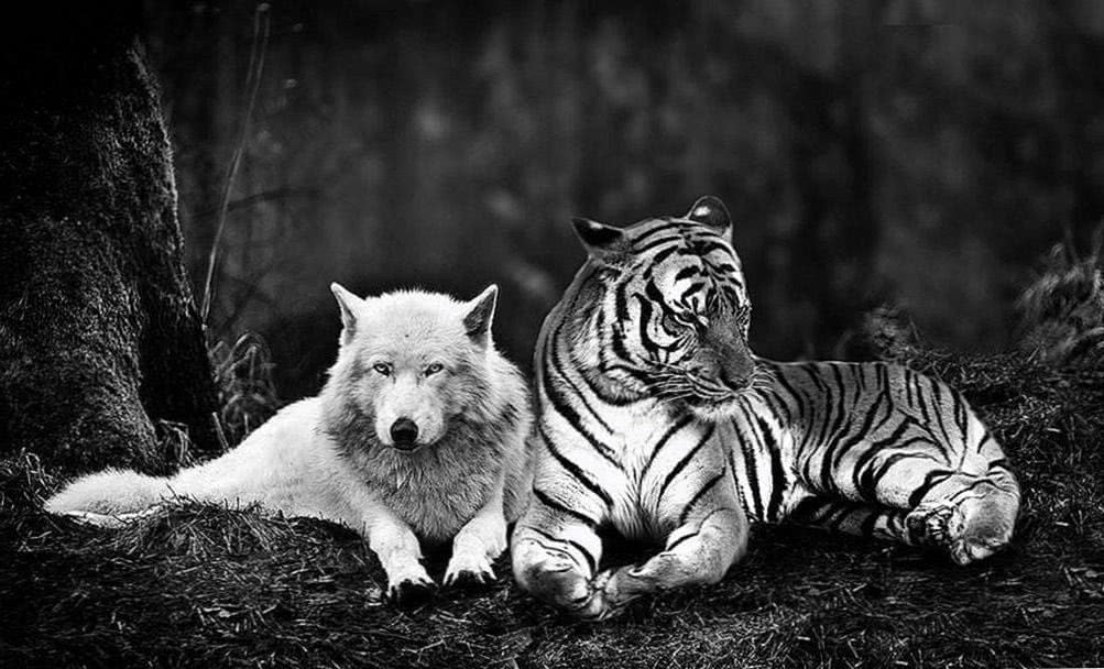 White Tiger And Wolf Wallpapers