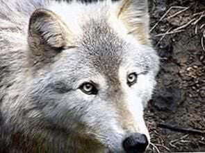 HD Wallpapers Of Sad Wolf