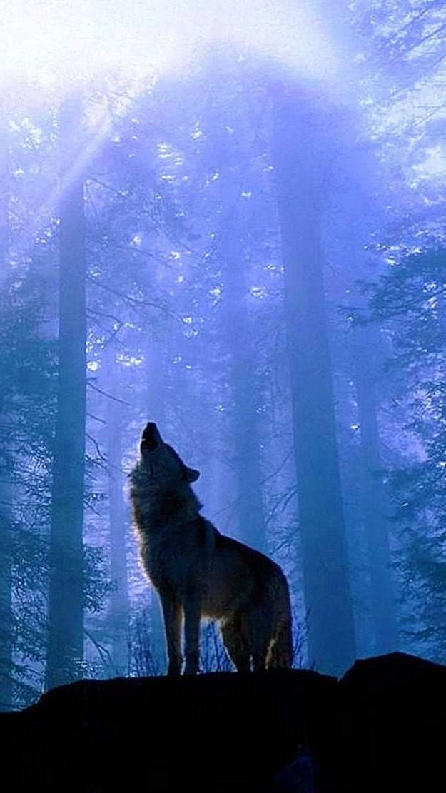 Wallpaper iPhone 5S Wolf