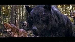 Twilight Saga Wolf Wallpapers