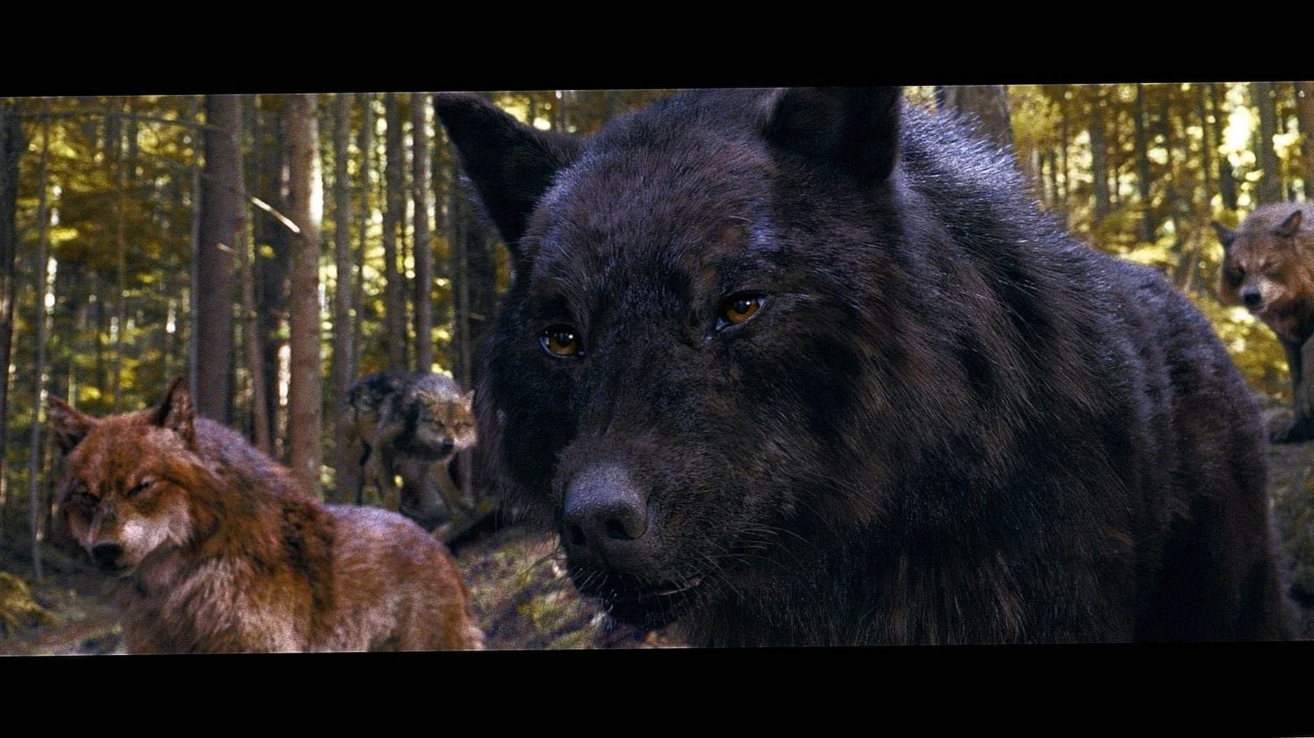 Twilight Wolf Full HD Wallpapers