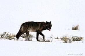 Yellowstone Wolf Wallpapers