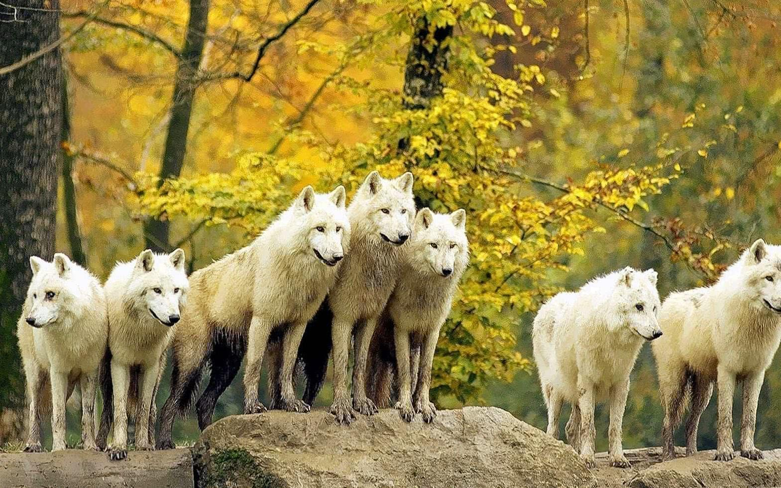 Wolf Pack Wallpapers HD