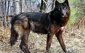 Wild Black Wolf Wallpapers