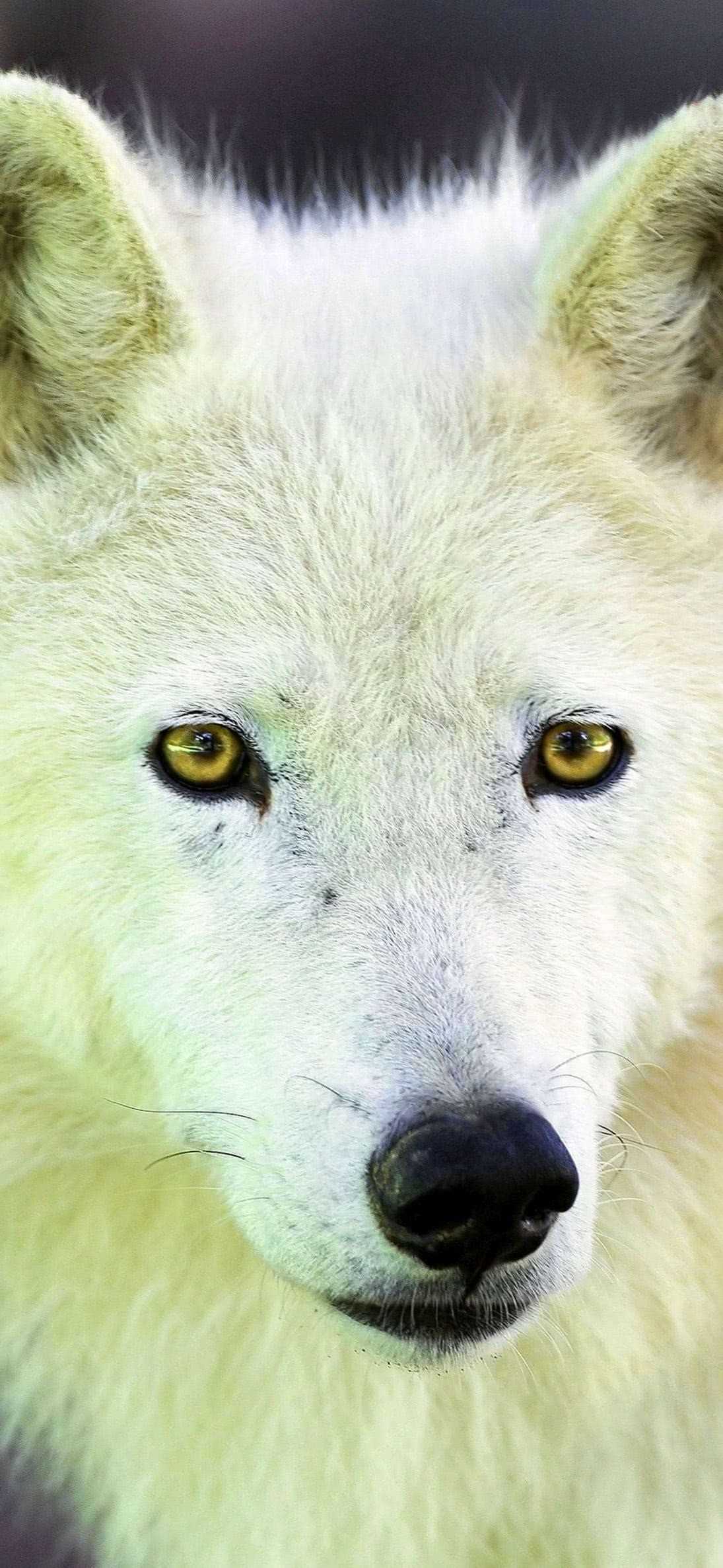 Arctic Wolf iPhone Wallpaper