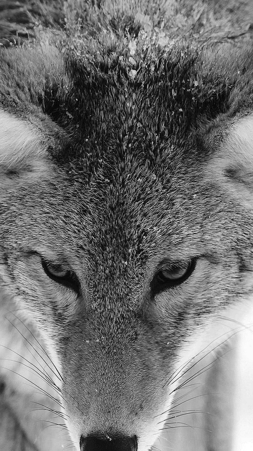 Wallpapers iPhone 7 Plus Wolf