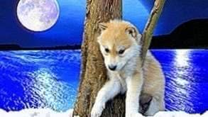 Baby Wolf Background Wallpapers