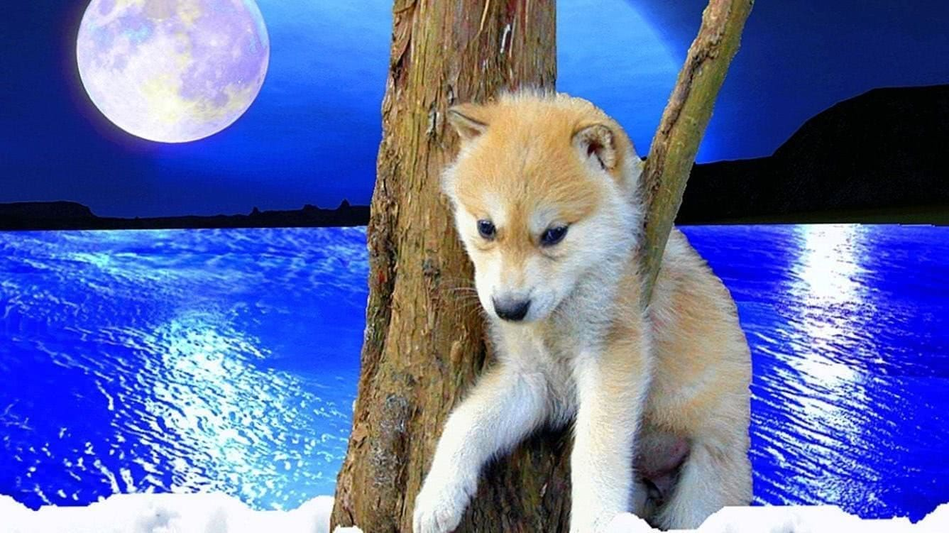 Baby Wolf Mobile Wallpapers